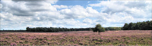 late summer heath in full bloom